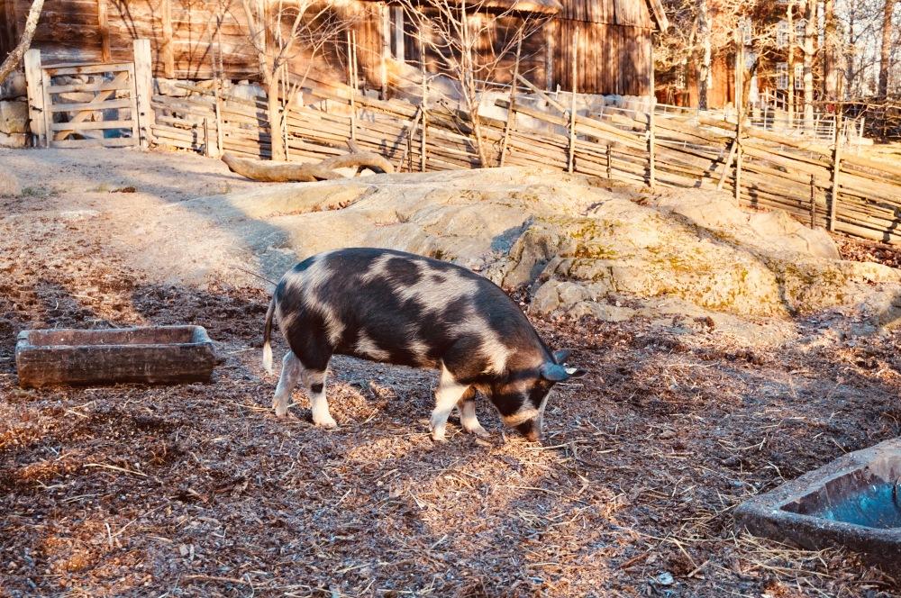 Schwein_Schweden - 1 (2)