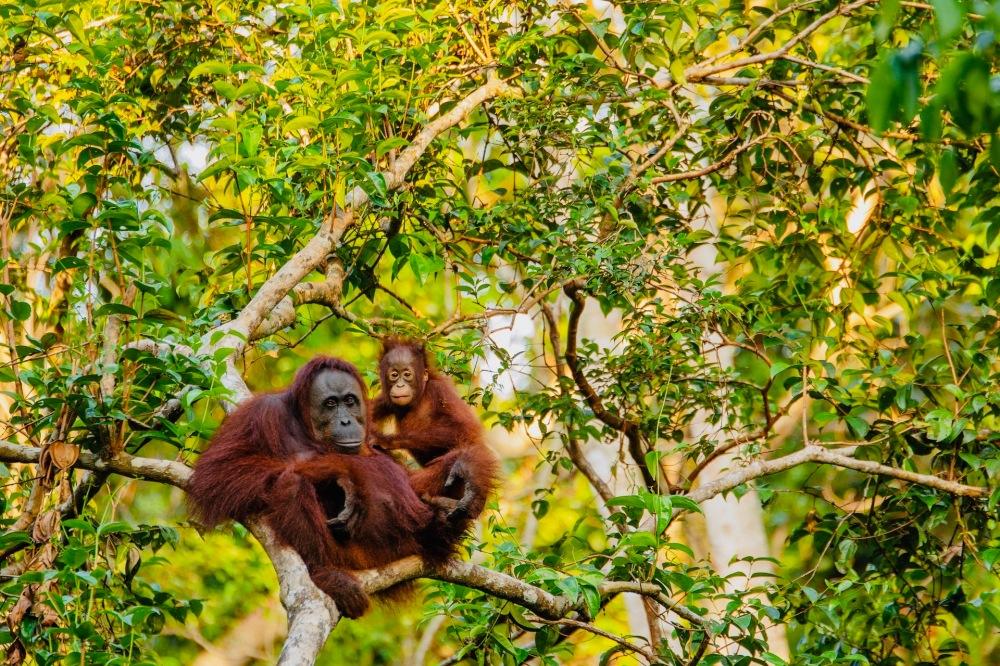 Klimafreundlich leben_Regenwald_Orang Utans - 1