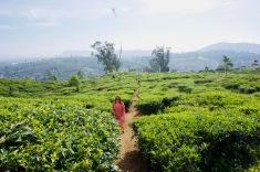 Sri Lanka_Nuwara Eliya_Teeplantage - 1