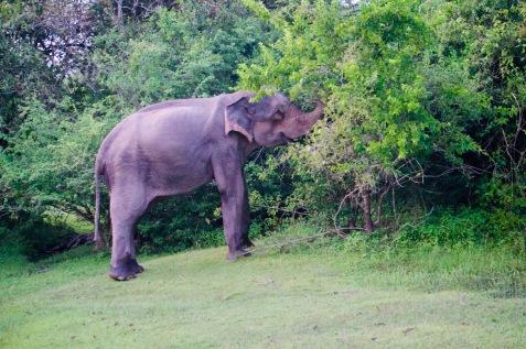 Sri Lanka_Yalla Nationalpark_Elefant - 1