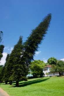 Kandy_Botanischer Garten_Krummer Baum - 1